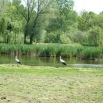 békákra vadászó gólyák